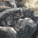 チンパンジーとボノボの違いについて。知能はどれくらい!?