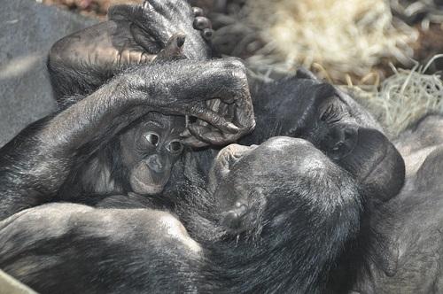 チンパンジー ボノボ 違い 知能