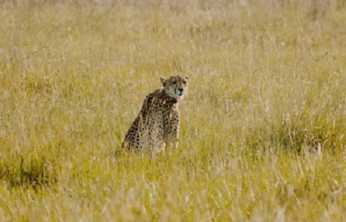 ライオン チーター 襲う
