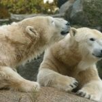 日本でホッキョクグマや赤ちゃんに会える水族館、動物園ってどこ?