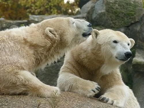 ホッキョクグマ 水族館 動物園