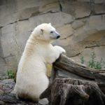 動物園でのホッキョクグマの飼育方法やエサについて