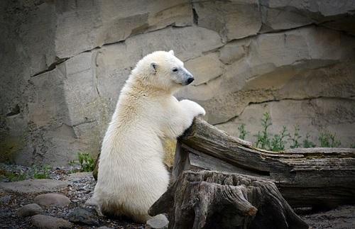 動物園 ホッキョクグマ 飼育 エサ
