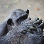 チンパンジーが見せる行動について!行動には意味があった!