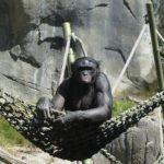 野生のチンパンジーの平均寿命ってどれくらい!?