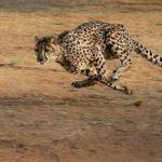チーターは時速何キロで走る!?なぜ速いの?