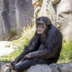 チンパンジーと人間のDNAって近いの?
