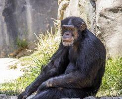 チンパンジー 人間 DNA