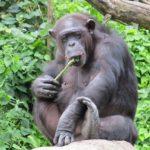 チンパンジーと人間の筋肉の違いは何!?