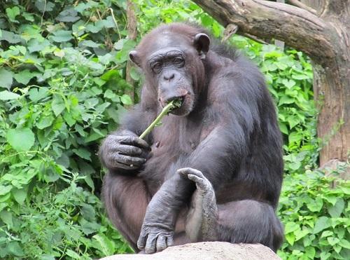 チンパンジー 筋肉 違い