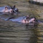 カバは泳ぐのが得意?泳ぐ速さは?