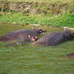 カバの習性!川を渡る他の動物を助ける理由とは!?