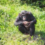 チンパンジーの握力ってどれくらい!?なぜ強いの!?