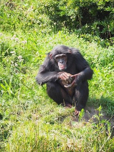 チンパンジー 握力 平均 なぜ