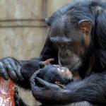 野生のチンパンジーが共食いするのは一体なぜ!?