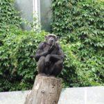 チンパンジーの知能の年齢は人間に例えると何歳なの?