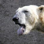 ホッキョクグマを絶滅の危機から守る理由について