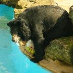動物園のツキノワグマは冬眠するの?冬眠の時期はどうしてるの!?