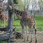 日本でキリンに会えるおすすめの動物園はどこ!?