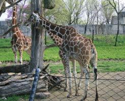 キリン 日本 動物園