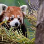 バナナワニ園でレッサーパンダの飼育数世界1になった理由とは?