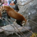 レッサーパンダの名前の由来や英語の読み方について