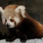かわいいレッサーパンダの性格の特徴とは!?