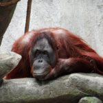 オランウータンが見られるおすすめの動物園はどこ!?