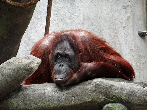 オランウータン 動物園 日本
