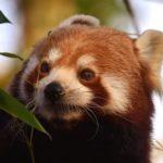 レッサーパンダが絶滅の危機に!理由や対策方法について