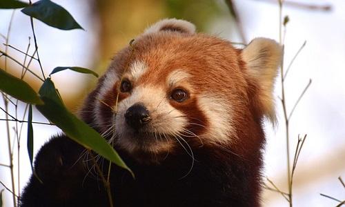 レッサーパンダ 絶滅 理由 対策