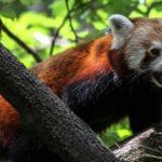 レッサーパンダとジャイアントパンダの違いや共通点について