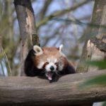 レッサーパンダが絶滅したら生態にどんな影響が出るの!?