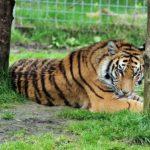 日本でベンガルトラがみられる動物園ってどこ!?