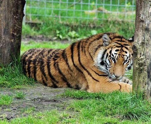 ベンガルトラ 日本 動物園