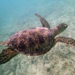 アオウミガメの平均寿命ってどれくらい!?