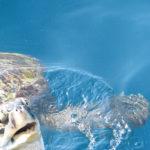 ウミガメの日本での生息地について。見られる場所はある!?