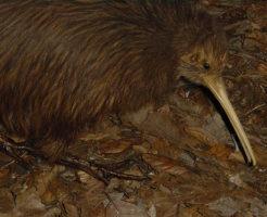 キーウィ 絶滅危惧種 特徴