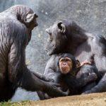 日本でチンパンジーに会えるおすすめの動物園は!?