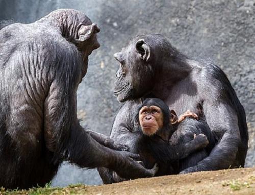 チンパンジー 日本 動物園