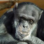 チンパンジーの脳の大きさや重さについて
