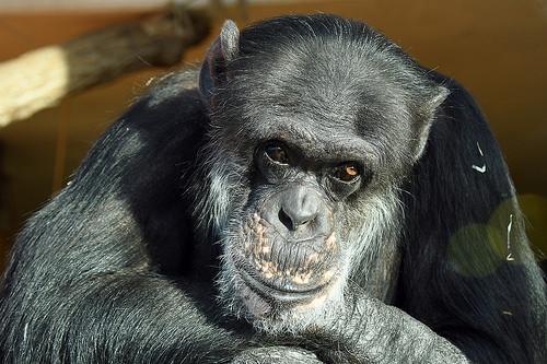 チンパンジー 脳 大きさ 重さ