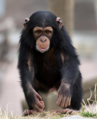 チンパンジー ペット 値段 危険