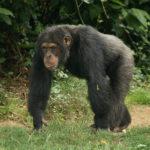 チンパンジーの子育てはオスメスどっちがするの!?