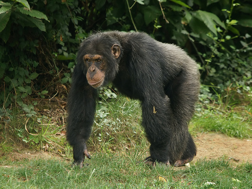 チンパンジー オス 子育て
