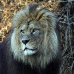 インドライオンの生息地や生息数について