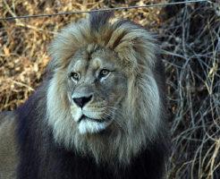 インドライオン 生息地 生息数