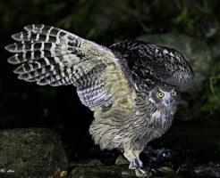 シマフクロウ 大きさ 特徴