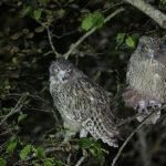 北海道に生息するシマフクロウの生態について