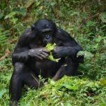 知能が高い!?ボノボの生態についてのまとめ